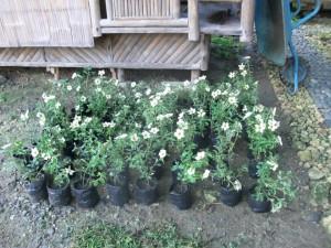 Planting. Flowers.